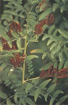 光果甘草提取物Licorice Root P.E.